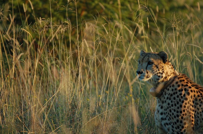A cheetah gazing around the savannah