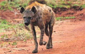 A hyena seen on a game drive.