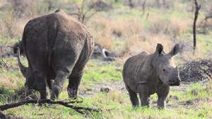 Rhino mother and baby at Tau Lodge in Madikwe.