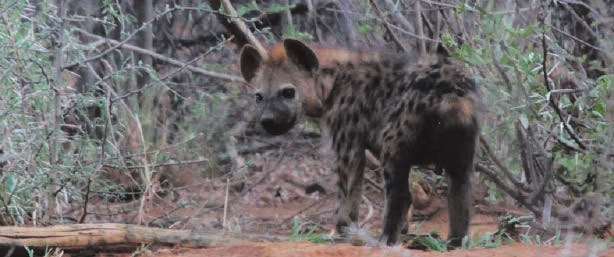 A baby hyena cub emerges from its den.