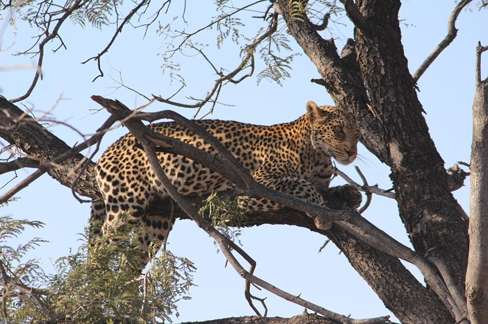 A leopard quietly scouts the landscape from a tree