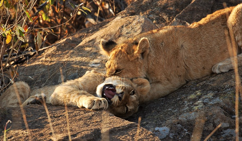 Lions & Cubs By Mike Rae