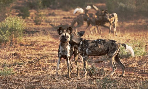 So why wild dogs - By Dylan Smith